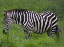 Adult Zebra in Meadow Printable Animal Picture