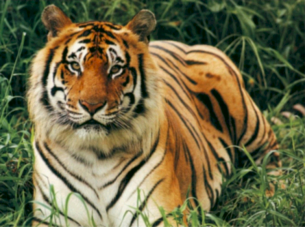 photo about Printable Tiger Pictures named Eye-catching Tiger Printables