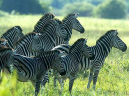 Herd of Zebras in Meadow Printable Animal Pictures
