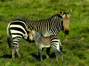 Zebra Baby in Meadow Printable Animal Picture