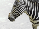 Zebra Contrast Animal Pictures