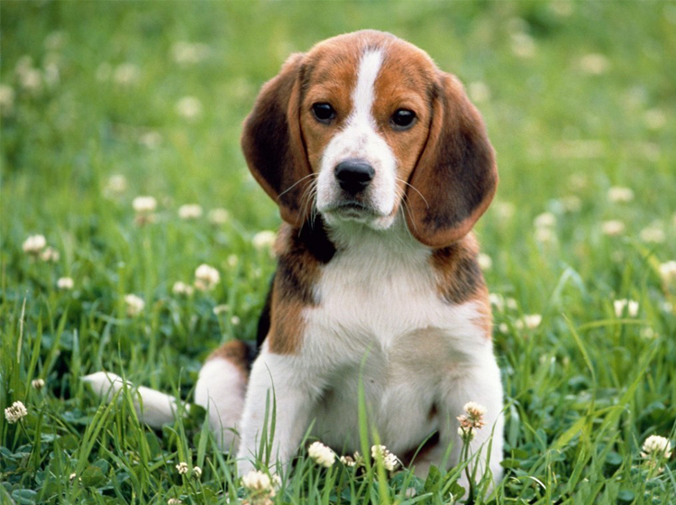 Printable Beagle Animal Picture