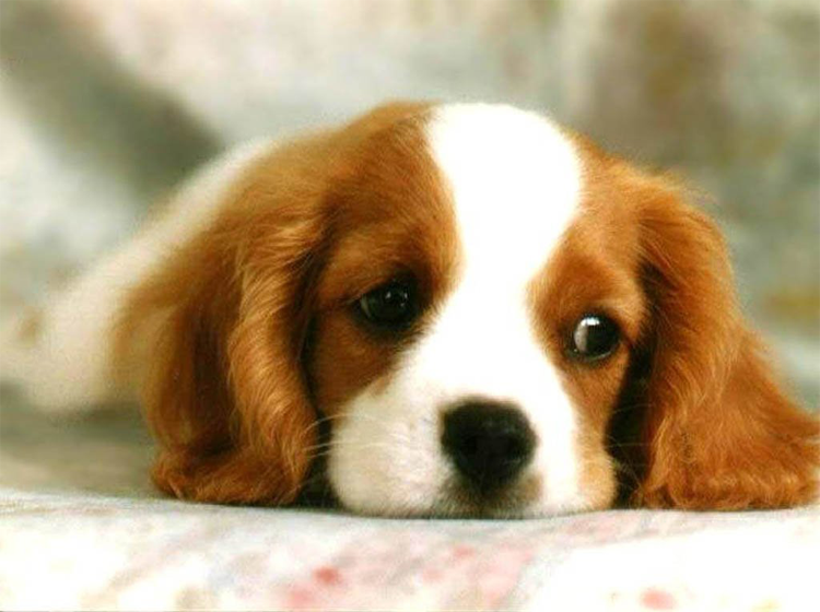 Printable Furry Face Puppy Pictures