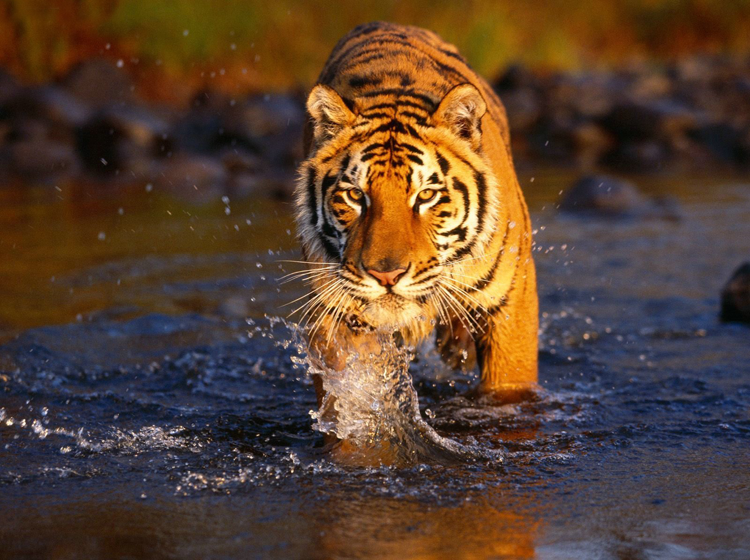Tiger In Water Printable
