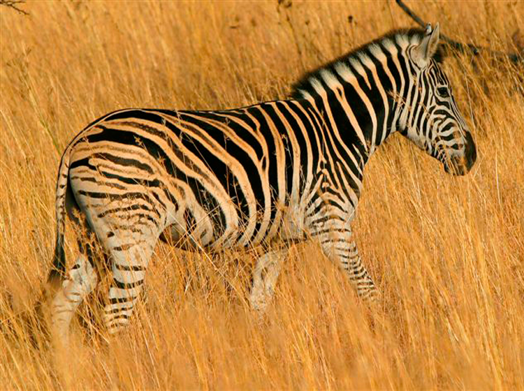 Zebra in Tall Grass Printable Animal Pictures